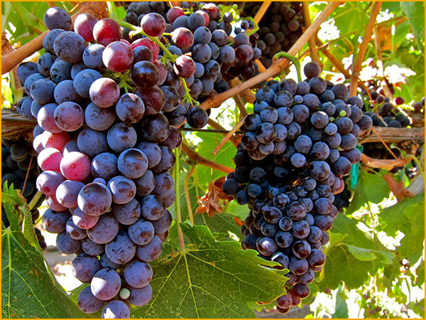 Grape Wines